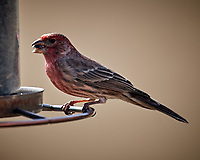 Male House Finch. Image taken with a Nikon D5 camera and 600 mm f/4 VR telephoto lens (ISO 200, 600 mm,  f/4, 1/640 sec).