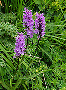 Wild purple orchid. In August, many attractive alpine wildflowers bloom in the Alpstein limestone range, Appenzell Alps, Switzerland, Europe. Appenzell Innerrhoden is Switzerland's most traditional and smallest-population canton (second smallest by area).