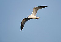 Ring-billed gull (Larus delawarensis) in flight above Lake Chapala - Ajijic, Jalisco, Mexico