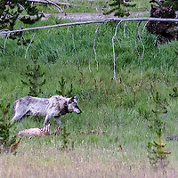 Face Off! Bear is coming for the elk kill and wolf knows it! Yellowstone National Park, Wyoming.