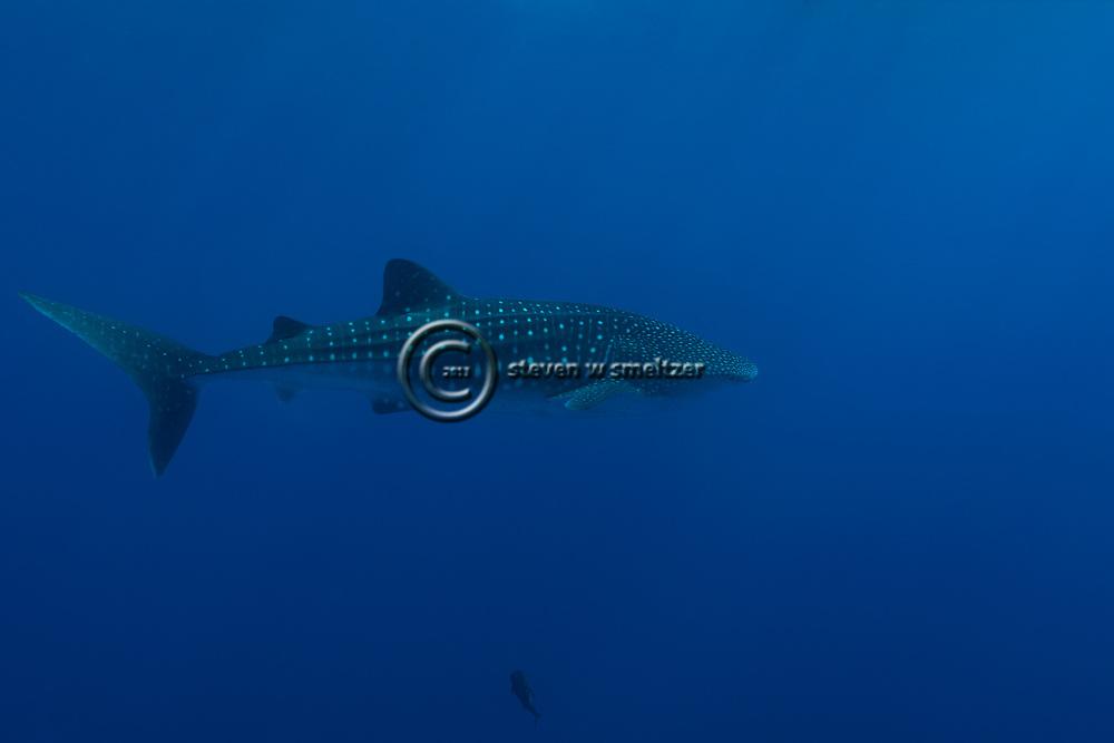 Whale Shark, Rhincodon typus, A. Smith, 1828, Molokini Crater, Hawaii