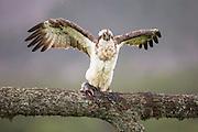 Osprey (Pandion haliaetus) feeding on fish, Glenfeshie, Cairngorms National Park, Scotland.