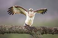 Osprey (Pandion haliaetus) feeding on fish, Glenfeshie, Cairngorms National Park, Scotland.