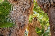 California fan palm trees at 49 Palms Oasis Trail, Joshua Tree National Park, California.