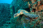A Hawksbill Sea Turtle, Eretmochelys imbricata, peeks out of the Esso Bonaire shipwreck offshore Jupiter, Florida, United States.