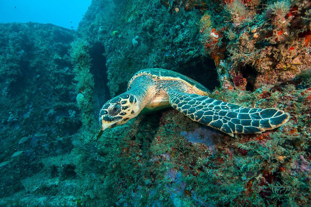 A Hawksbill Sea Turtle, Eretmochelys imbricata, peeks out of the Esso Bonaire shipwreck offshore Jupiter, Florida, United States.