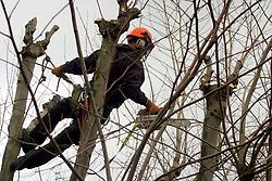 UK ENGLAND LONDON 17JAN06 - Horticultural worker prunes a tree in Maida Vale, Westminster, London...jre/Photo by Jiri Rezac..© Jiri Rezac 2006..Contact: +44 (0) 7050 110 417.Mobile:  +44 (0) 7801 337 683.Office:  +44 (0) 20 8968 9635..Email:   jiri@jirirezac.com.Web:    www.jirirezac.com..© All images Jiri Rezac 2006 - All rights reserved.