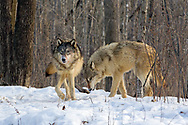 Gray wolves  (Canis lupus) in winter habitat.