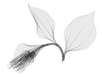 X-ray image of a Korean fairy bells flower and leaves (Disporum uniflorum, black on white) by Jim Wehtje, specialist in x-ray art and design images.