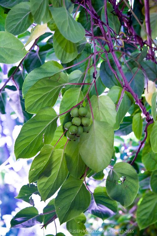 The small edible fruit of the hardy Kiwi (Actinidia arguta)