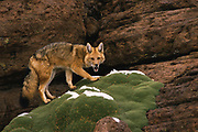 Andean Red Fox<br />Pseudalopex culpaeus<br />Altiplano (High Andes) BOLIVIA.  South America<br />RANGE: N. Colombia to S. Argentina