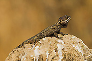 Laudakia stellio, Rock Agama basking in the sun on a rock, Israel