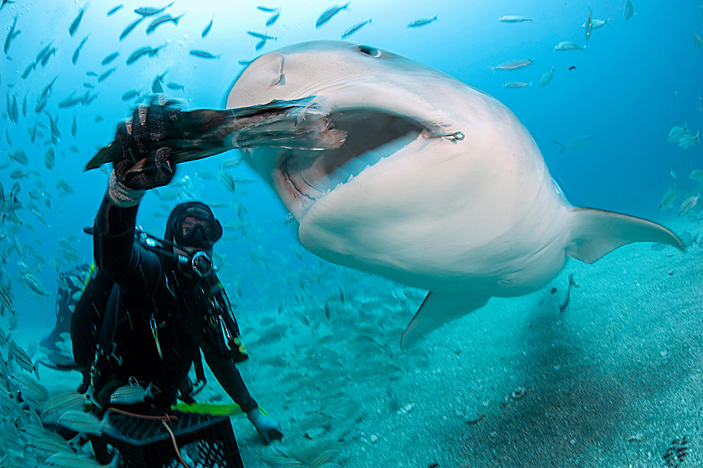 Captain Randy Jordan of Emerald Dive Charters hand feeds a tiger shark, Galeocerdo cuvier, in Federal waters offshore Jupiter, Florida, United States.