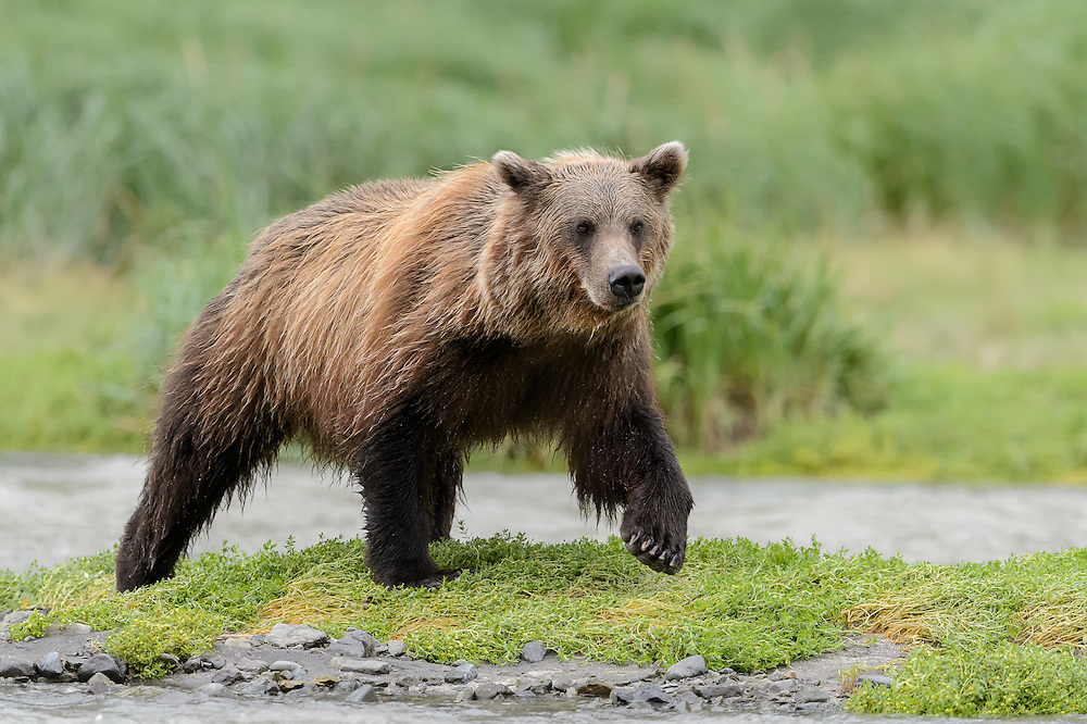 Coastal Brown Bears walking the line of streams in search of salmon