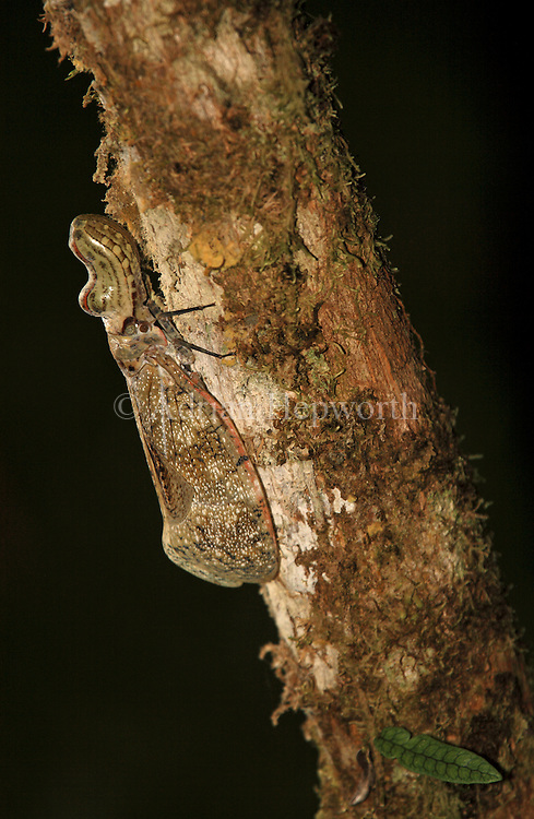 Peanut-headed Bug (Fulgora lanternaria) in rainforest, La Selva Biological Station, Costa Rica. <br />