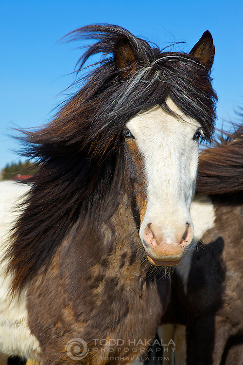 Icelandic horse with blue eyes and white face