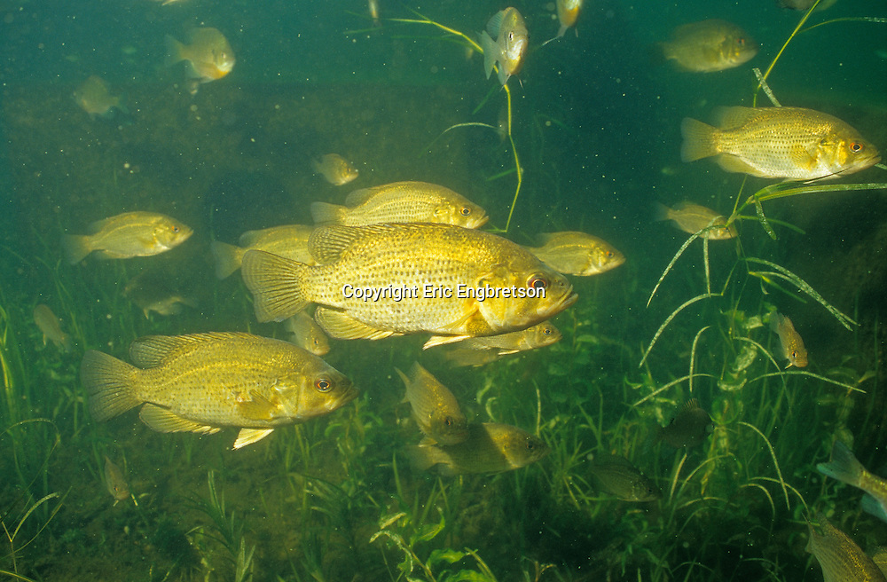 Group of Rock Bass<br /> <br /> ENGBRETSON UNDERWATER PHOTO