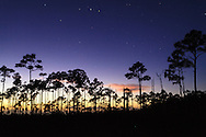 Night view of a silhouetted grove of slash pine trees near the Mahogany Hammock section of Everglades National Park, Florida.<br />
