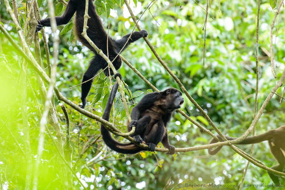 Mantled Howler Monkey [Allouata palliata] adult, howling,  with botfly lessions (warble), browsing canopy; Soberania National Park, Panama