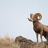 bighorn ram trophy wild rocky mountain big horn sheep
