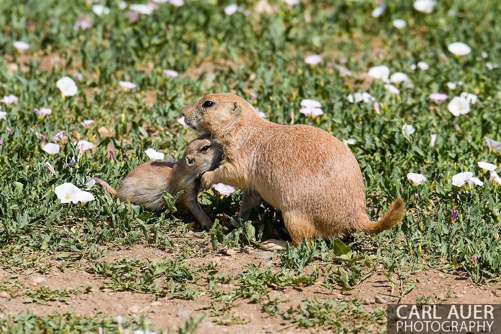 Prairie Dogs sun themselves around Standley Lake