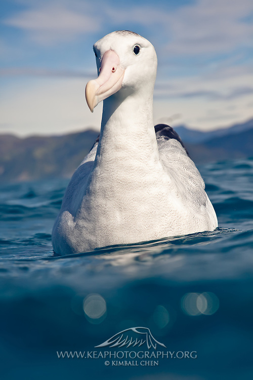 Wandering Albatross, Kaikoura, New Zealand