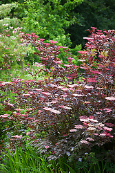 Sambucus nigra f. porphyrophylla 'Thundercloud' at Glebe Cottage. Black Elder