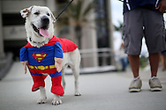 Beckham, the dog sports a Superman costume at Comic Con, Friday, July 19, 2013 in San Diego, California.  Comic Con International Convention is the Worlds largest Comic and entertainment event and hosts celebrity movie panels, a trade floor with comic book, Science Fiction and action film related booths, as well as artist workshops,  movie premieres and much more.(Photo by Sandy Huffaker/Getty Images)