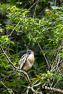 A Boat-billed Heron ( Cochlearius cochlearius ) preens on his perch in the Bladen Nature Reserve, Belize.