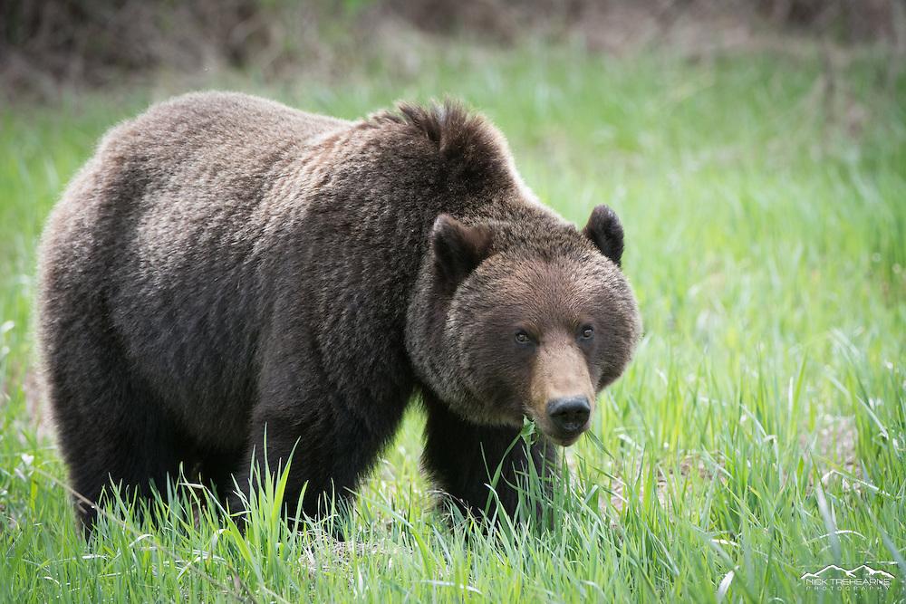 grizzly bear, quartering towards, standing, green grass, big