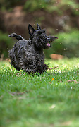 Active Scottish Terrier pedigree dog playing outdoors on green grass
