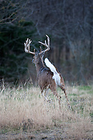 mature whitetail buck running away