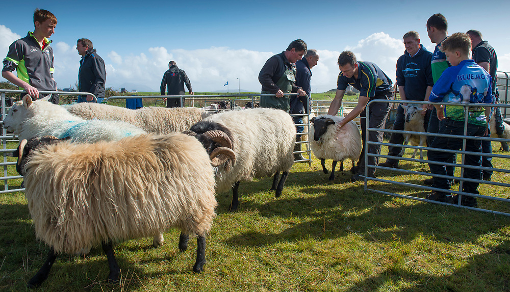 Clare Island Ram Fair &amp; Sheep Dog Trials.<br /> Contenders for the Overall show champion . Pic: Michael Mc Laughlin