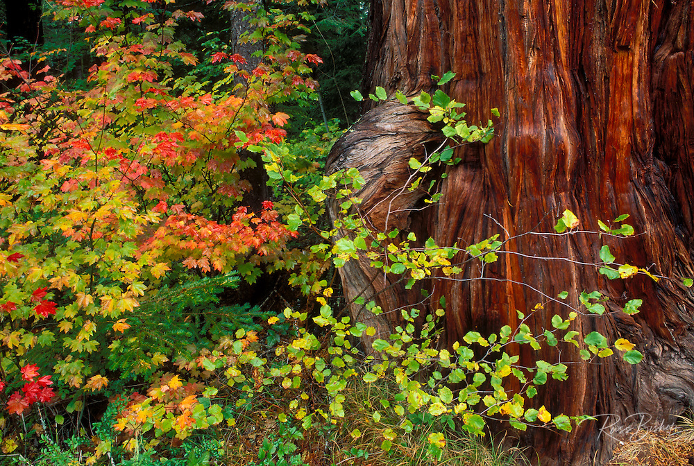 Fall vine maple and cedar along the Rogue River, Rogue River National Forest, Oregon