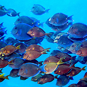 Blue Tang inhabit reefs, occasionally forming large schools that may include other species of Surgeonfish, in the Tropical West Atlantic; picture taken Roatan.