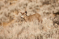 December of 2016 the snow in Utah's northern mountains has yet to show itself and at this time the Mule Deer are still in the rut!