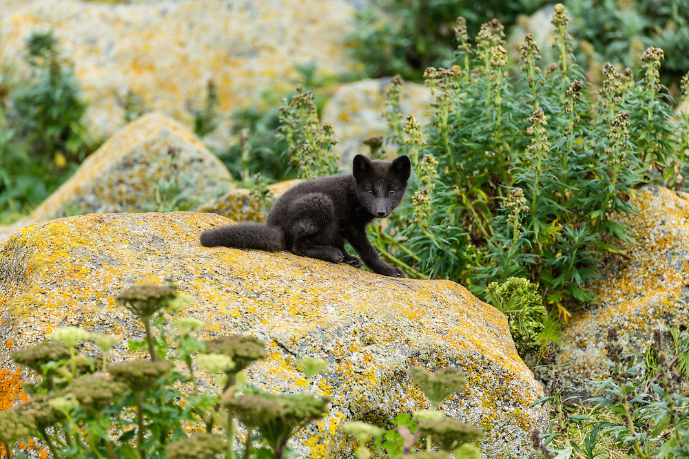 Arctic Fox (Alopex lagopus) pup on boulder near den on St. Paul Island in Southwest Alaska. Summer. Afternoon.