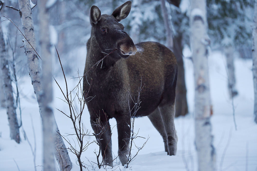 Elk, or Moose, Alces alces, in midwinter light near Nikkaluokta, Lapland, Laponia, Norrbotten county, Sweden