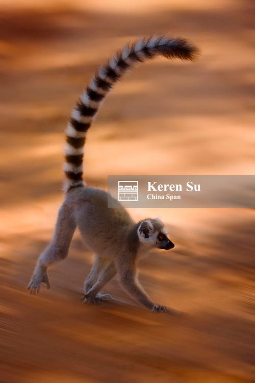 Ring tailed lemur (Lemur catta), Berenty National Park, Madagascar