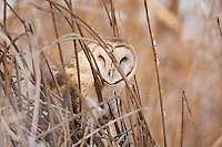 A Barn Owl sits in the cattails while a small snow flurry passes by.