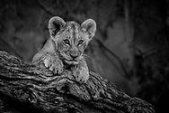 Lion cub perched on a tree studying its surroundings with intense curiosity.