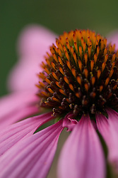 A close-up shot of an Echinacea Purpurea with emphasis on the center.