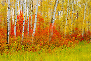 aspen trees in autumn<br /> Riding Mountain National Park<br /> Manitoba<br /> Canada