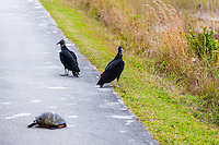 US, Florida, Everglades, Shark Valley. Black Vulture with dead turtle.