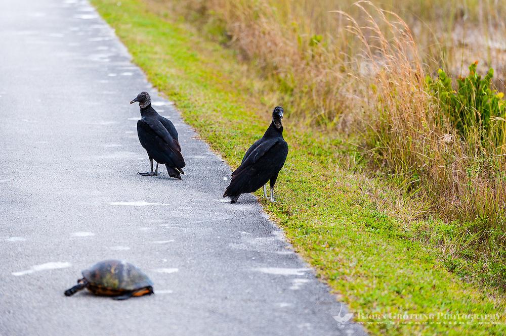 US, Florida, Everglades, Shark Valley. Black Vulture with dead turtle.