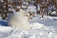 01863-01208 Arctic Fox (Alopex lagopus) in snow in winter, Churchill Wildlife Management Area, Churchill, MB Canada