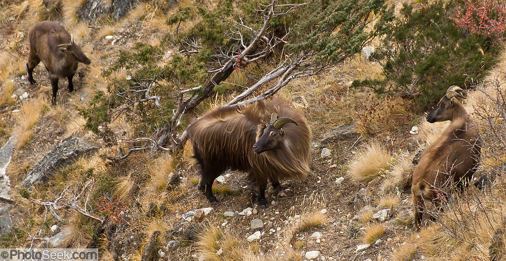 The Himalayan tahr is an even-toed ungulate, a near-true goat, commonly seen here between Phortse and Pangboche in Sagarmatha National Park, in the Khumbu district of Nepal. A big male is flanked by two adult females. Sagarmatha National Park was created in 1976 and honored as a UNESCO World Heritage Site in 1979.