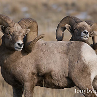 wild rocky mountain big horn sheep