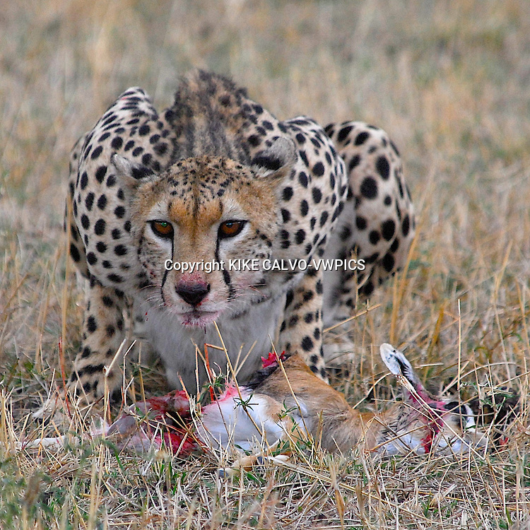 Cheetah ( acinonyx jubatus ) feeding on a Thomsons gazelle ( gazella thomsoni ) . Masai Mara National Park