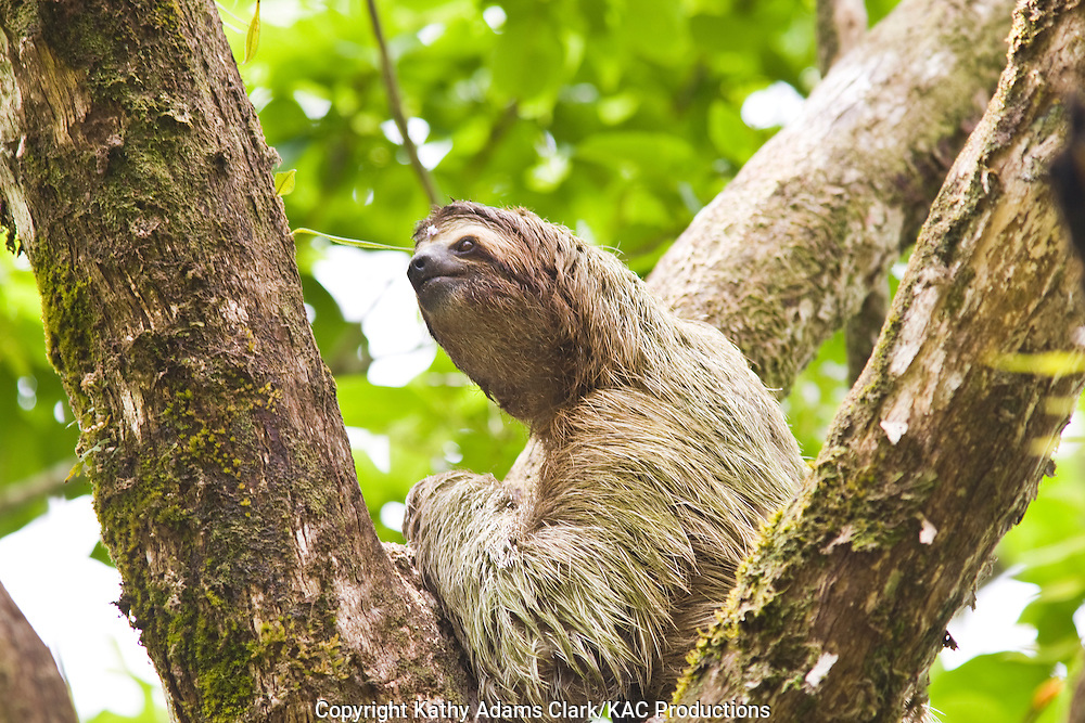 three-toed sloth, bradypus variegatus, in a tree in Southern Costa Rica, Osa Peninsula,